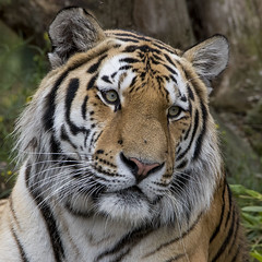 Panthera tigris altaica (Ouwesok) Tags: canoneos80d tamron5063150600mm pantheratigrisaltaica amoertijger beeksebergen