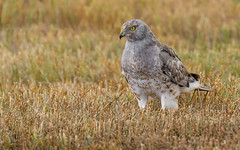 Northern Harrier (Circus cyaneus) - Delta, BC (bcbirdergirl) Tags: circuscyaneus male subadult northernharrier marshhawk feeding fullcrop birdofprey raptor owlface delta bc magic blessed close thatface