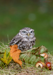 Little owl guarding his conkers 23.09.17 (Lee Myers - aka mido2k2) Tags: