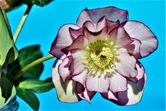 DSC_0030 : My Garden Spring 2017 (aciamax) Tags: aciamax mygarden flowers blossom bulbs hellebors spax fressias melbourne victoria australia roses camellias daffodils