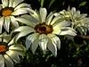 Happy weekend! (fleckchen) Tags: gazanien gazania mittagsgold blumen blüten blumenblüten weis flower flowers garten weiseblüten insekten insects sommer blooms blossoms