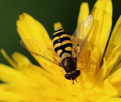 Flower (LuckyMeyer) Tags: hoverfly schwebefliege fly flügel yellow flower fleur makro summer garden