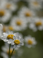 Un petit bonheur ***--+° (Titole) Tags: camomille camomile many dew titole nicolefaton white yellow shallowdof 15challengeswinner perpetual thechallengefactory