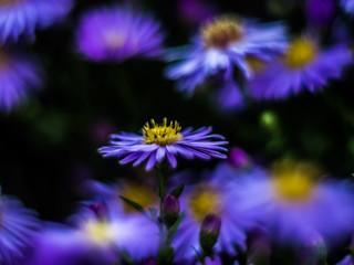 Aster, colors & bokeh (lens study)