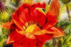 Gazania (Xtian du Gard) Tags: xtiandugard fleur flower gazania red rouge sunflower