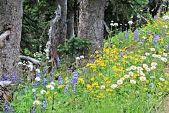 Wildflowers: Broadleaf Arnica, Aster, Lupin (Bella Lisa) Tags: aster broadleafarnica lupin mountrainiernationalpark sourdoughmountains washington sunrisevisitorcenter degepeak mtrainier emmonsvista curlyeverlasting wildflowers wilderness nationalpark washingtonstate sunsetpoint hiking emmonsglacierevergreens pines pinetrees
