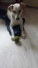 Mowgli (mrskuiperij) Tags: huisdier hond boerenfox