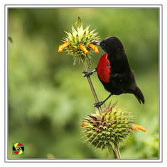 Digging in for the pollen (Crested Aperture Photography) Tags: redchestedsunbird bird uccello vogel sunbird mpigi uganda birdsofuganda pássaro eastafrica buganda nectariniaerythrocerca