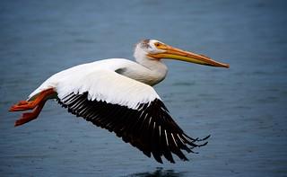 In-flight Pelican