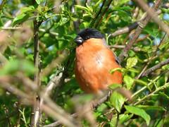Bullfinch (Peanut1371) Tags: bullfinch finch gardenbird bird nationalgeographicwildlife