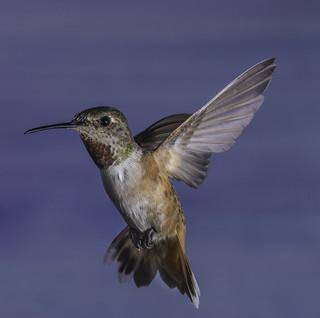 Allen's Hummingbird In Flight