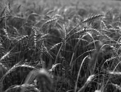 Wheat spike (Paul Lundberg) Tags: mamiya645 sekorc55mmf28 ultrafinextreme100 kodakhc110 epsonv550 film 645 mamiya blackwhite wheat