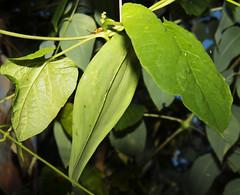 Eastern Anglepod Milkvine Gonolobus suberosus_6985 (Alice & Seig) Tags: va williamsburgarea 4021 vanative brown green plants asteridae gentianales dogbaneapocynaceae milkweedasclepiadaceae williamsburg virginia unitedstates