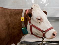 Comice de Sassenage (Isère, France) (Denis Trente-Huittessan) Tags: cow vaches montbeliarde comice sassenage