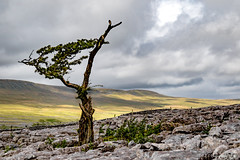 Lone Tree, The Only One Within Ten Feet (Fermat 48) Tags: ingleton yorkshiredales tree twisletonscarend limestone rocks cracks clouds green foliage windblown shadows sunshine hills