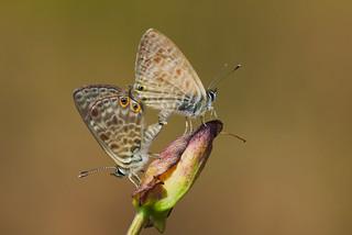 Leptotes pirithous mating (3)