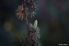 Pigne de cèdre (studio miglia) Tags: sonyrx10m3 nature zeissvariosonnart zeiss cèdre cedrus arbre tree conifère carlzeiss