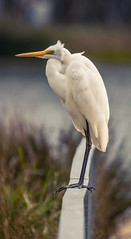 Great Egret (AWLancaster) Tags: birding shepparton greategret sony bird feathers lake wildlife fauna animals lightroom sigma
