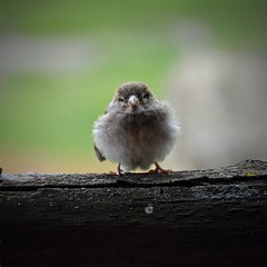 """A small spring ball"" | House sparrow (Photography by Eric Hentze) Tags: outdoor wildlife wild sparrow housesparrow bird vogel animal animalphotography animalplanet animale nikon natur nature nikond7100 d7100 erichentze 2017 leipzig park nautrephotography 18300mm itsazoooutthere passerdomesticus"