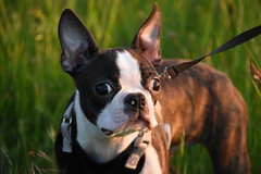 Greta Loving August 1, 2017 (James_Seattle) Tags: nikond7200 nikon d7200 august 2017 august2017 kirkland washington kirklandwashington bostonrescue greta tuesdaysareforthedogs photo wallpaper desktop bostonterrier boston terrier k9 puppy pup cutepuppy adorablepuppy bostonterrierwallpaper bostonterrierdesktop bostonterrierbackground