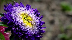Aster. (andrzejskałuba) Tags: polska poland pieszyce dolnyśląsk silesia sudety europe panasonic lumix fz200 roślina plant kwiat flower natura nature ogród garden fiolet żółty yellow różowy pink violet 100v10f aster