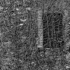 Bio-rete.Bio-net B&W (chaotic) (sandroraffini) Tags: bw canon 70200 rural decay bio net rete rampicanti creepers abstract reality organic chaotic caotico dettagli details square sandroraffini avviluppato enveloped window stone pietra wall muro grafico graphic abbandonato abandoned surfaces textures zocca