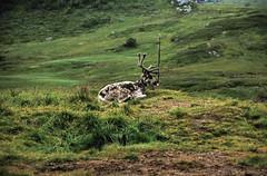 Norwegen 1998 (141) Vikafjell (Rüdiger Stehn) Tags: tier säugetier ren rentier vikafjell natur dia slide analogfilm scan canoscan8800f europa norwegen norge norway nordeuropa skandinavien diapositivfilm kleinbild analog kbfilm 35mm urlaub reisefoto reise contax137md 1990s 1998 1990er sognogfjordane