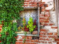 There is a Will (clarkcg photography) Tags: wall brick anotherbrickfromthewall windowsill windowsquare plants vegetation flora fridayflora 7dwf