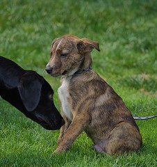 Meeting On The Grass (swong95765) Tags: dogs meet greet cute canine animals pets grass sniff smell puppy