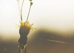 bonjour matin (rockinmonique) Tags: dandelion yellow morning light golden gossamer backlit backlighting pretty warm moniquew canon canont6s tamron copyright2017moniquew