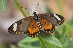 IMG_2677 Acraea serena ♀ (Raiwen) Tags: nymphalidae heliconiinae butterflies moyenneguinée guinea westafrica africa savanna greenland acraea acraeaserena telchiniaserena