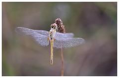 Le séchage - Drying (isabelle.bienfait) Tags: roséematinale morningdew dragonfly rosée dew isabellebienfait sigma105 nikond7200 odonate ambiance inexplore