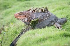 _DSC2695 (P2 New) Tags: 2016 animaux costarica date décembre iguanevert pays reptiles statedegolfdelaiguana herradura puntarenasprovince