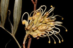Grevillea banksii (andreas lambrianides) Tags: grevilleabanksii proteaceae redsilkyoak dwarfsilkyoak banks'grevillea byfieldwaratah australianflora australiannativeplants wildflowers australiannativeflowers