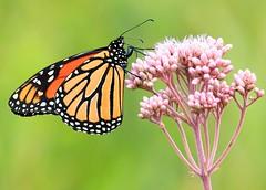 monarch male on spotted Joe Pye weed at Hayden Prairie State Preserve IA 854A4855 (lreis_naturalist) Tags: monarch male butterfly spotted joe pye weed hayden prairie state preserve howard county iowa larry reis