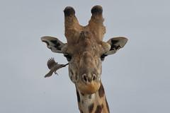 20170615_2254_Masai Mara_Girafe Masai (fstoger) Tags: kenya masaimara viesauvage wildlife safari girafe girafemasai masaigiraffe afrique africa