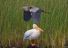 Blue and White (Robertmoose) Tags: pelican america white rare iona richmond