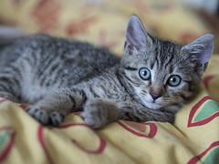 Tarzan (lauriepetsitterparis) Tags: chaton mignon minou cat catsitter petsitter chat miaou cute adorable
