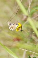 Lycène indéterminé (Mariie76) Tags: animaux nature verdure coteaux calcaires papillon lépidoptère argus bleu lycène herbes tiges macro macrophotographie