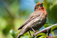 House Finch (mjeedelbr) Tags: house finch