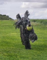 Poppy (Explored 19-8-2017) (Kerry711) Tags: 50mm a6000 alpha beach black dog eastcoast england jumping lens playing poodle poppy prime running sony toy saltfleet pedigree