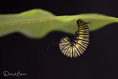 All J'd up (dbifulco) Tags: day16 m caterpillar insect jhang larva monarchcaterpillar monarchproject2017