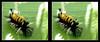 Milkweed Tussock Moth Caterpillar, Euchae Egle Up Close - Crosseye 3D (DarkOnus) Tags: milkweed tussock moth caterpillar euchae egle up close pennsylvania buckscounty panasonic lumix dmcfz35 3d stereogram stereography stereo darkonus closeup macro insect crosseye crossview