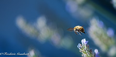 Leaving (frederic.gombert) Tags: summer bee insect light color colorful lavender flower plant garden park sun sunlight macro