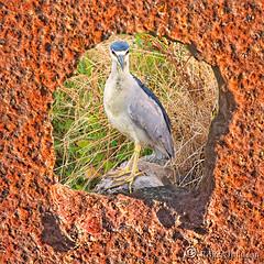 So, What're You Lookin' At?... (Explored) (Romair) Tags: nightheron heron iron rustyiron cortemaderamarsh sliderssunday rogerjohnson