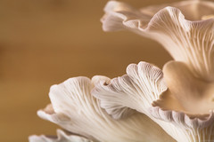 Gírgolas (pablocba) Tags: macrophotography macrodreams nikon d7100 girgolas setas argentina hongos mushrooms macro micro micology fungi seta nature naturaleza estructura diseño