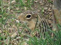 Thirteen-lined ground squirrel (Jacob Gajewski) Tags: chipmunk kalamazoo michigan canon sx60 13 thirteen lined ground squirrel