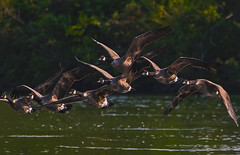 7 Geese in flight (Robert R Grove 2) Tags: geese seven 7 flight wildlife birds robertgrove