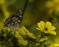 Butterfly_SAF4610 (sara97) Tags: butterfly insect missouri nature outdoors photobysaraannefinke pollinator saintlouis towergrovepark copyright©2017saraannefinke