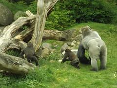 Gorilla's Thabo, Aybo en Bokito. (Loekje19) Tags: gorilla bokito